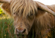 Highland cows Edinburgh