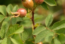 Rose hips in the hedgerows