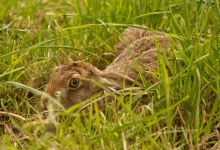 A Hare in the long grass