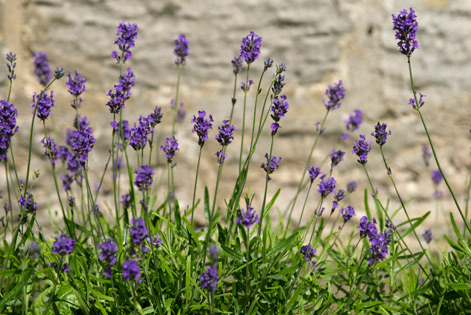 Lavender outside Mortonhall Gate in summer